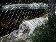 Białego tygrysiego samotnego zoo smutny zwierzę zdjęcie stock