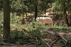 Białego wilka Canis lupus arctos chodzi w lesie, inny jeden w tle obrazy royalty free