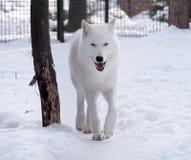 Białego wilka odprowadzenie przy śnieżnym patrzejący kamerę Fotografia Stock