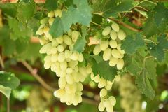 Białego wina winogrona w winnicy na słonecznym dniu obrazy stock