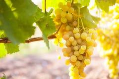 Białego wina winogrona w winnicy na słonecznym dniu Zdjęcia Stock
