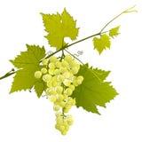 Białego winogrona grono na obfitolistnej gałąź Fotografia Royalty Free