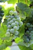 Białego winogrona wiązka przygotowywająca dla żniwa Zdjęcia Royalty Free