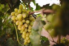 Białego winogrona wiązki obwieszenie na gałąź Obraz Royalty Free
