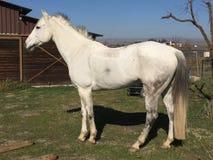 Białej amerykanin ćwiartki koński wałach z grzywy dmuchaniem w wiatrze pozującym brown stajnią zdjęcie royalty free