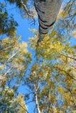 Białej brzozy bagażnik zdjęcia stock