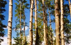 Białej brzozy drzewa Gromadzący się przeciw jaskrawemu niebieskiemu niebu zdjęcia royalty free