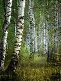 Białej brzozy drzewa z piękną brzozy barkentyną w brzoza gaju Pionowo widok fotografia stock