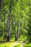 Białej brzozy drzewa z piękną brzozy barkentyną w brzoza gaju Pionowo widok zdjęcie stock