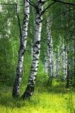 Białej brzozy drzewa z piękną brzozy barkentyną w brzoza gaju Pionowo widok obraz royalty free
