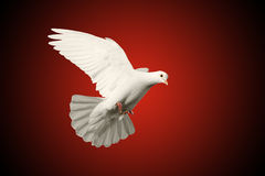 Białej gołąbki latający symbol miłość na czerwonym i czarnym tle Zdjęcie Royalty Free