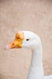 Białej kaczki twarzowy zakończenie up strzelał Zdjęcia Stock