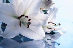 Białej lelui kwiat, zbliżenia leluja widok Białej lelui kwiat, wiosny tło fotografia stock