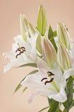Białej lelui kwiaty Fotografia Royalty Free