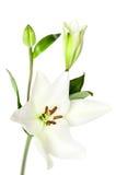 Białej lelui kwiaty Odizolowywający Obraz Royalty Free