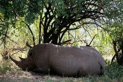 Białej nosorożec Masai Mara rezerwa Kenja Afryka Zdjęcia Stock
