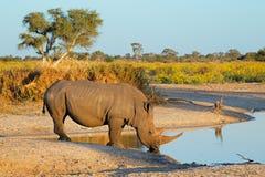 Białej nosorożec pić Obraz Royalty Free