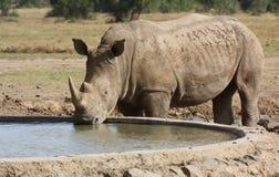 Białej nosorożec pić zdjęcia royalty free