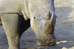 Białej nosorożec portret Obraz Stock