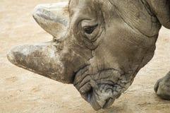 Białej nosorożec ` portret Zdjęcia Stock