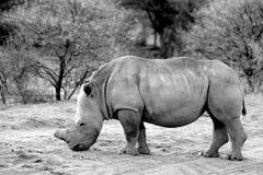 Białej nosorożec pozycja w krzaku w Erindi rezerwie - Namibia w czarny i biały Obrazy Stock