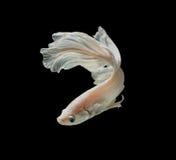 Białej Platt platyny boju Syjamska ryba Biały siamese fighti Zdjęcia Stock