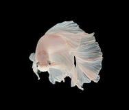 Białej Platt platyny boju Syjamska ryba Biały siamese fighti Zdjęcie Stock