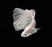 Białej Platt platyny boju Syjamska ryba Biały siamese fighti Zdjęcia Royalty Free
