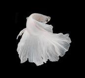 Białej Platt platyny boju Syjamska ryba Biały siamese fighti Zdjęcie Royalty Free
