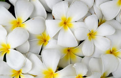 Białej Plumeria lub Frangipani natury abstrakta tło Obrazy Royalty Free