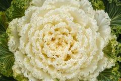 Białej sałaty roślina obrazy stock