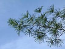 Białej sosny gałązki pod niebieskim niebem i gałąź Abstrakcjonistyczny szczegół obrazy stock
