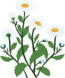 Białej stokrotki chamomile kwitnie ilustrację, Obraz Stock