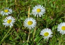 Białej stokrotki kwiatów dorośnięcie dziki w polu, selekcyjna ostrość obrazy royalty free