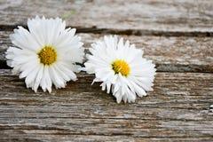 Białej stokrotki kwiat zdjęcia stock
