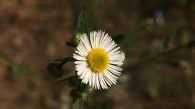 Białej stokrotki kwiatu kwiecenie w lecie zdjęcie wideo