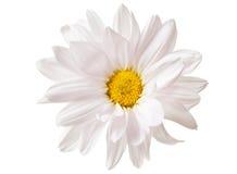 Białej stokrotki kwiatu stokrotek kwiaty Odizolowywający Zdjęcie Stock
