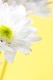 Białej stokrotki kwiaty Zdjęcia Stock