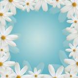 Białej stokrotki piękna rama Zdjęcie Royalty Free
