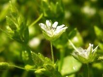 Białej wiosny dziki lasowy kwiat z rosą Obraz Stock
