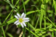 Białej wiosny lasowy kwiat w solneny popołudniu fotografia stock