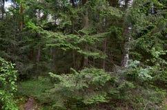Białoruś Drzewa w terytorium Belovezhskaya Pushcha Maj 23, 2017 zdjęcie stock