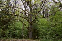 Białoruś Drzewa w terytorium Belovezhskaya Pushcha Maj 23, 2017 fotografia stock