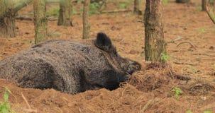 Białoruś Dziki knur Scrofa Lub Sus, Także Znać Jako Dzikie chlewnie, Eurazjatycki Dziki Świniowaty Odpoczynkowy dosypianie W jesi zbiory wideo