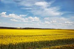 Białoruś Kolor żółty pole Gwałta dorośnięcie w Białoruś Maj 21, 2017 Obraz Royalty Free