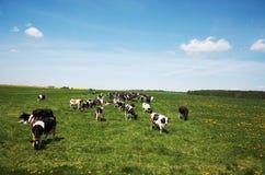 Białoruś Stado krowy pasa na polu w Białoruś Maj 21, 2017 Obrazy Royalty Free