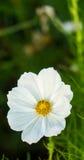 Biały Żółty kwiat w ogródzie Fotografia Royalty Free