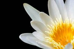 Biały Żółty Lotosowy kwiat na czarnym tle Obraz Royalty Free