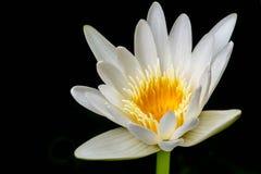 Biały Żółty Lotosowy kwiat na czarnym tle Zdjęcie Royalty Free
