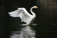Biały łabędź Zdjęcie Royalty Free